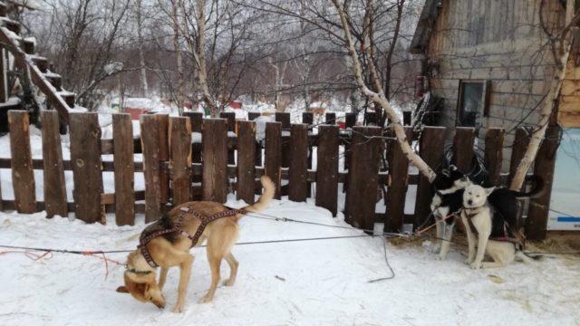 ロシア・Baikal Dog Sledding Centreで犬ぞり